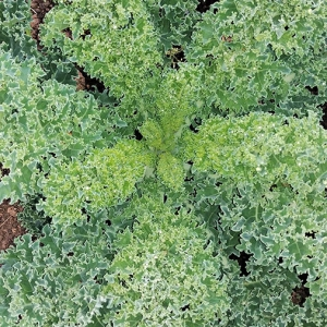 Curly-kale-for-our-breakfast-salad