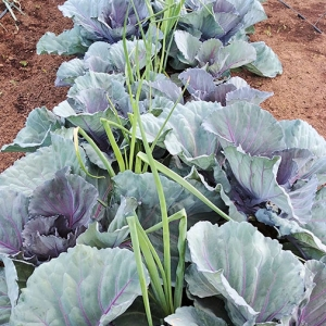 Purple-cabbages
